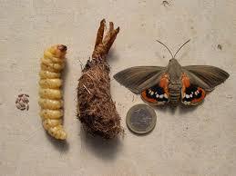papillon + larve