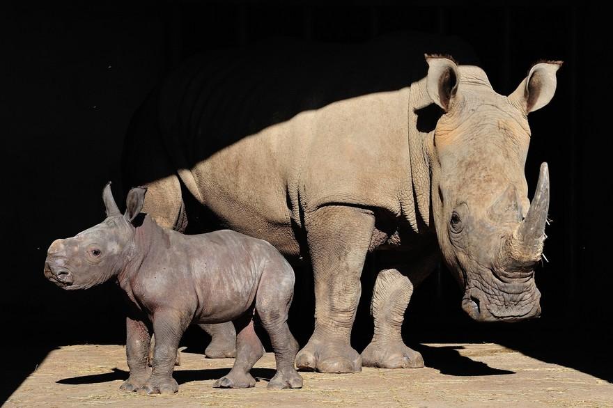 Le bebe rhinoceros blanc