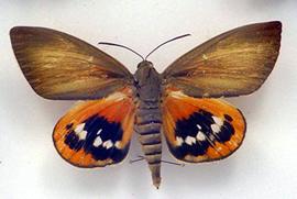 Papillon paysandia 1